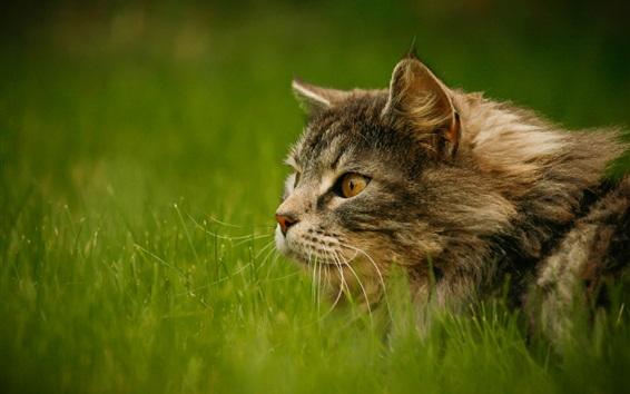 Fond d'écran Tomcat dans la mauvaise herbe, la moustache