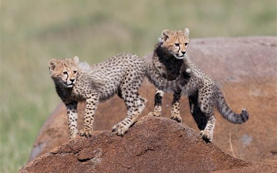 Wallpaper Two cheetahs cubs, stone