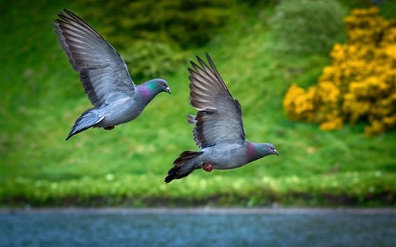 Fondos de pantalla Dos palomas de vuelo