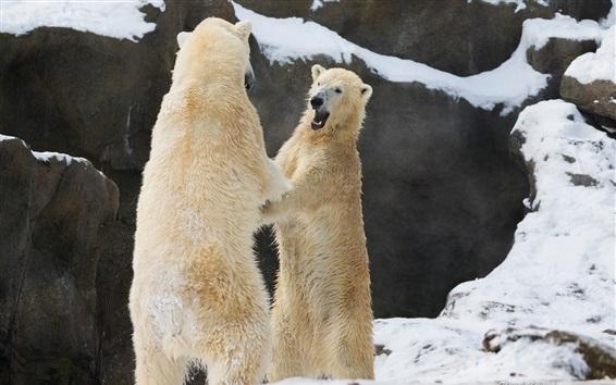 Обои Два белых медведей, стоящих вместе, чтобы охватить