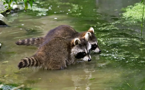 Wallpaper Two raccoons in pond