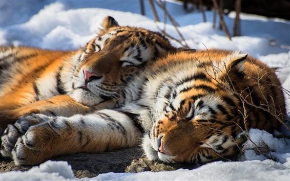 Papéis de Parede Dois, tigres, sono, neve, siberian