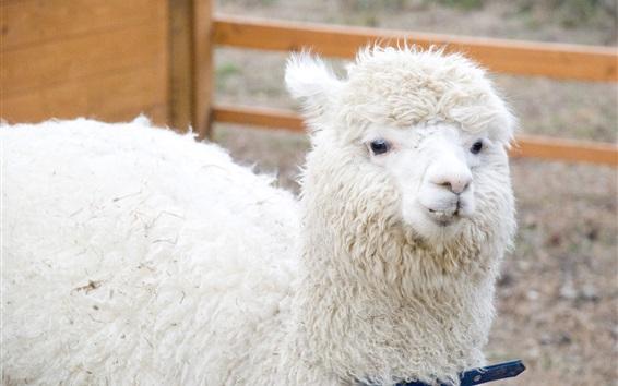 Papéis de Parede Descanso de alpaca branca