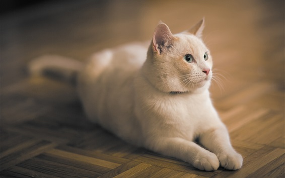 Wallpaper White cat stay on the flooring