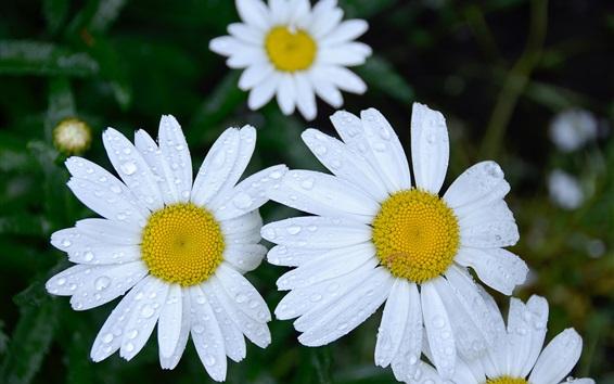 Fondos de pantalla Flores de margaritas blancas, gotitas de agua