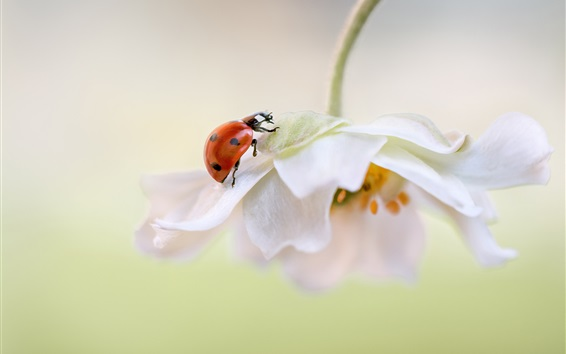Wallpaper White flower petals, ladybug
