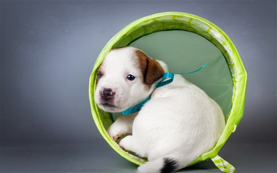 Wallpaper White puppy look back