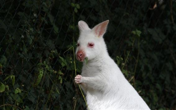 Wallpaper White wild rabbit chewing leaf