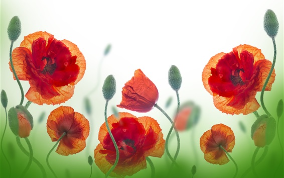 Wallpaper Wildflowers, poppy, red flowers