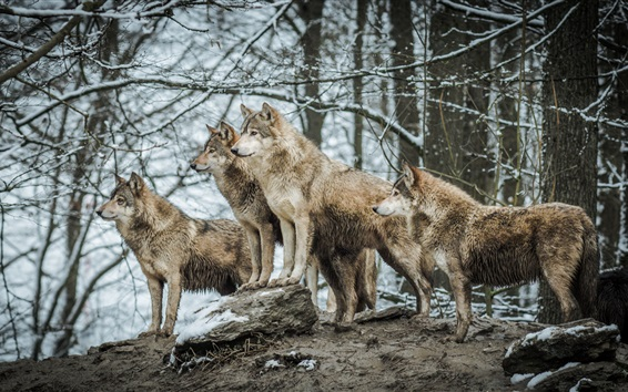 Wallpaper Wolves in winter forest