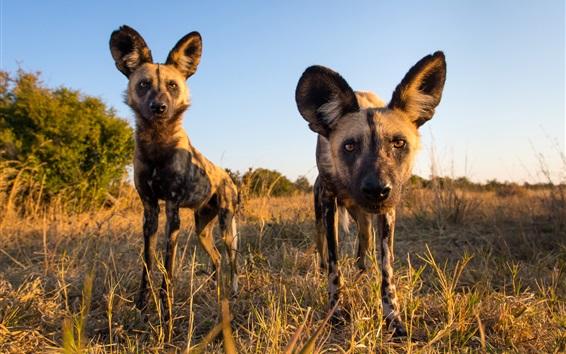 Wallpaper African wild dog