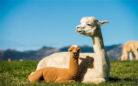 Papéis de Parede Alpaca, mãe, filhote