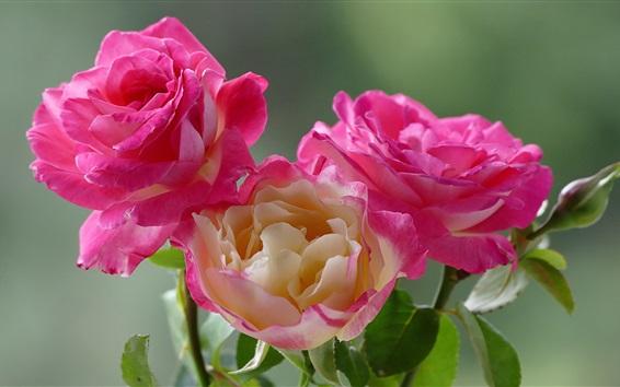 Wallpaper Beautiful pink rose macro photography