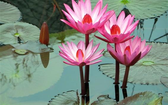 Обои Красивые розовые кувшинки, пруд