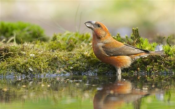 Papéis de Parede Pássaro, close-up, água, reflexão