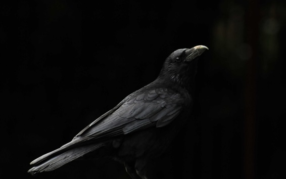 Wallpaper Black bird, raven, black background
