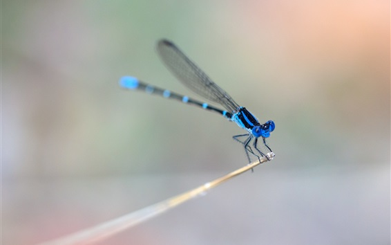Wallpaper Blue dragonfly, wings, blurry background