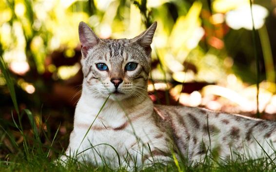 Fondos de pantalla Gato de ojos azules, descanso, hierba