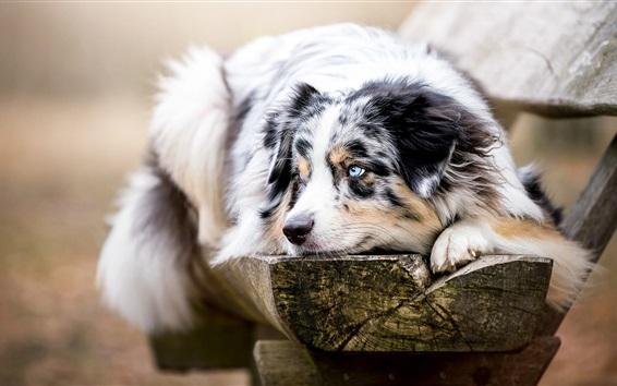 Papéis de Parede Blue eyes cão, descanso, banco