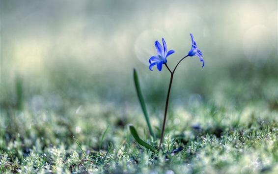 Fond d'écran Bleu, fleurs, herbe, ressort