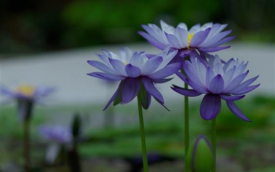 Papéis de Parede Flores azuis, nenúfares