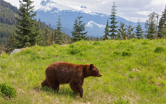 Wallpaper Brown bear, grass, mountains, trees, clouds