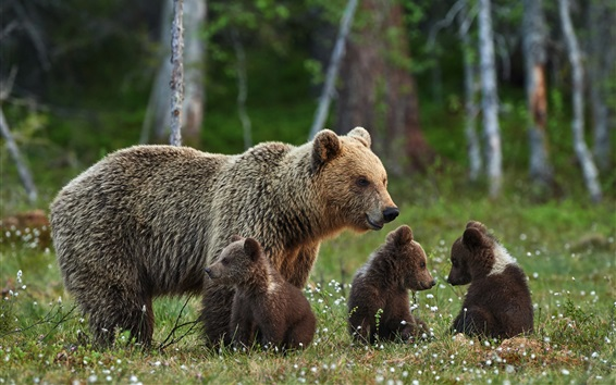 Wallpaper Brown bears family, mother and cubs