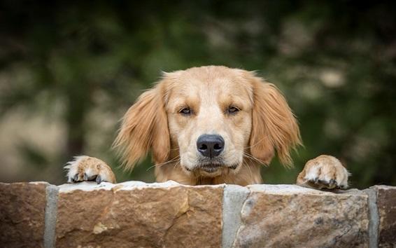 Fondos de pantalla Perro marrón te mira