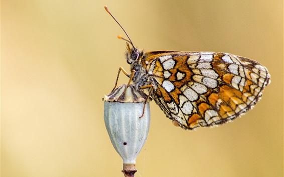 Fond d'écran Papillon, ailes, antennes, insecte