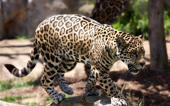 Обои Гепард, хищник, зоопарк