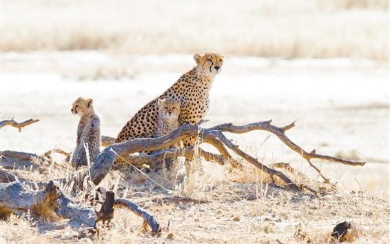 Wallpaper Cheetahs, cubs, grass, wildlife