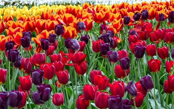 Fond d'écran Coloré, tulipes, fleurs, champ