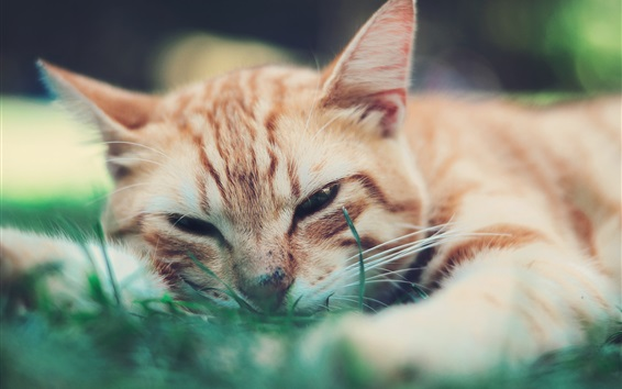 Wallpaper Cute cat want to sleep, face, grass