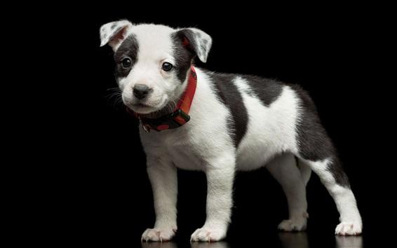 Papéis de Parede Filhote de cachorro bonito, preto branco
