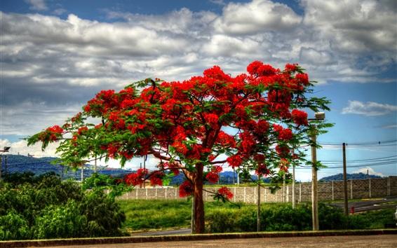 Papéis de Parede Delonix árvore floração, flores vermelhas, nuvens, estrada