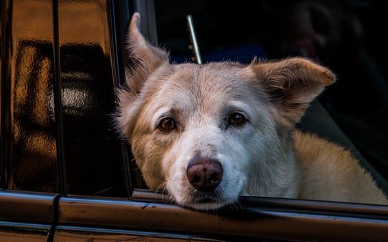 Papéis de Parede Cão, car, olhar, saída, janela