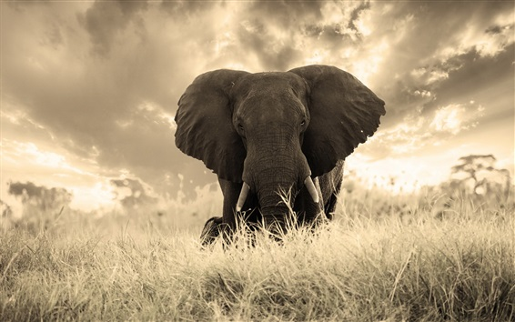 Wallpaper Elephant photography, grass, nature
