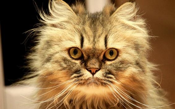 Papéis de Parede Fluffy gatinho olhar para você, rosto, bigode
