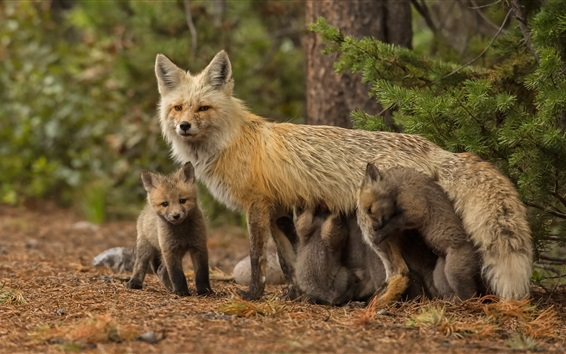 Wallpaper Fox family, mother and cubs