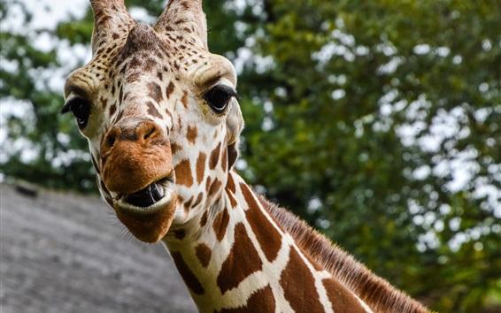 Wallpaper Giraffe photography, head, face