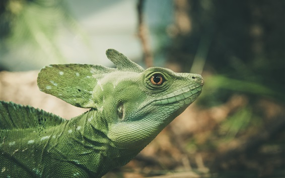 Wallpaper Green lizard, reptile