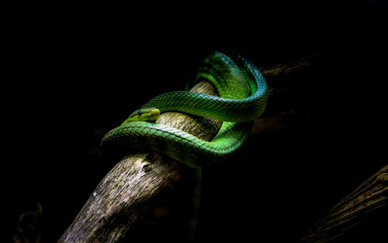 Wallpaper Green snake, black background