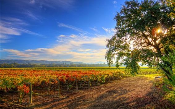 Papéis de Parede Healdsburg, uva, plantação, árvore, terra cultivada, sol, raios, Califórnia, EUA