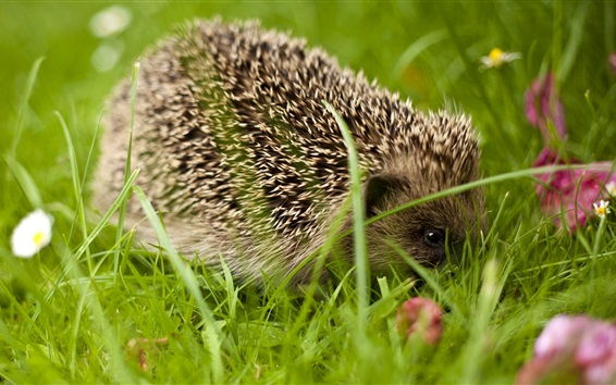Wallpaper Hedgehog close-up, grass