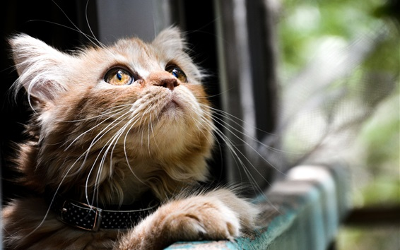 Обои Главная кошка смотреть вверх