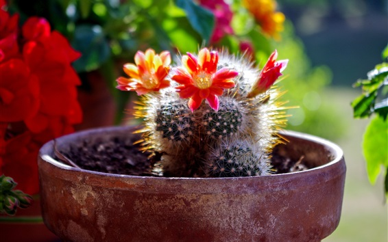 Wallpaper Home plants, cactus red flowers bloom