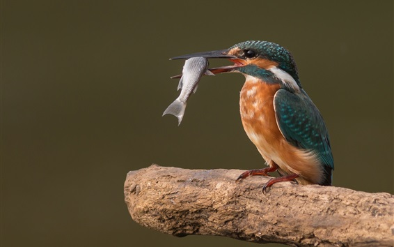 Wallpaper Kingfisher catch a fish, birds photography
