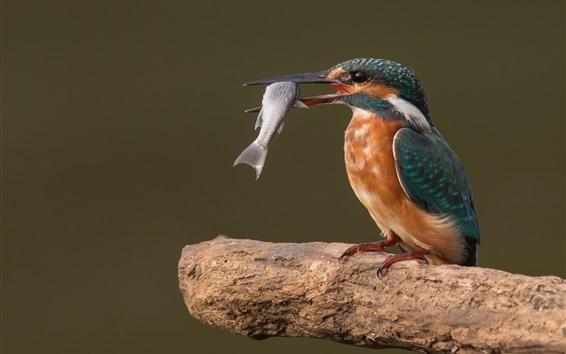 Fond d'écran Martin pêcheur prendre un poisson, photographie d'oiseaux