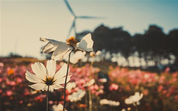 Papéis de Parede Kosmeya flores, campo, natureza