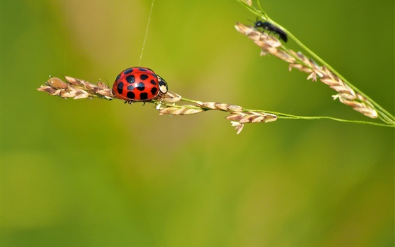 Wallpaper Ladybug, insect, grass